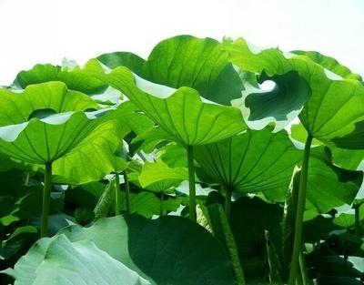 湖南常德荷叶 毛里湖天然茶减肥首选绿色健康1斤