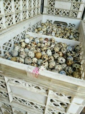 河北保定黄羽鹌鹑蛋 食用 箱装
