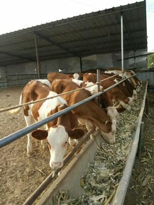 这是一张关于西门塔尔牛 200-300斤 公牛的产品图片