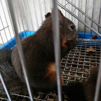 这是一张关于魔王松鼠的产品图片