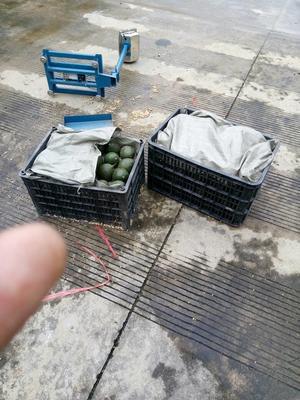 云南西双版纳景洪市缅甸牛油果 200g以上
