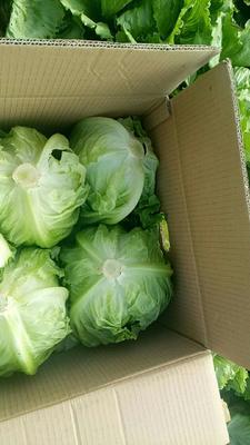 山东省济南市天桥区球生菜 1斤以上