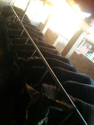 这是一张关于改良肉驴 200-400斤的产品图片