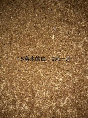 山东菏泽黄粉虫
