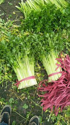 江苏省徐州市铜山区美国文图拉芹菜 55~60cm 大棚种植 0.5斤以下