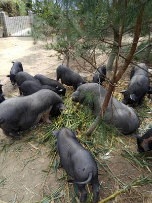 广西贺州环江香猪 60斤以上