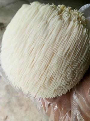 甘肃天水麦积区长刺猴头菇 10cm以上