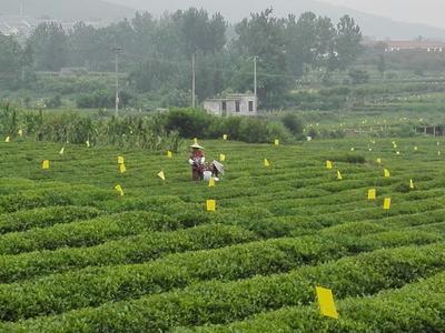 这是一张关于泰山女儿茶 散装 12 一级的产品图片