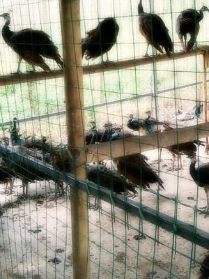 广西玉林蓝孔雀