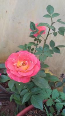 云南昆明玫瑰
