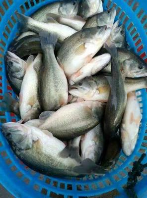 浙江湖州淡水鲈鱼 0.5龙8国际官网官方网站以下 人工养殖 加州鲈鱼苗,一斤6-8尾。欢迎电联