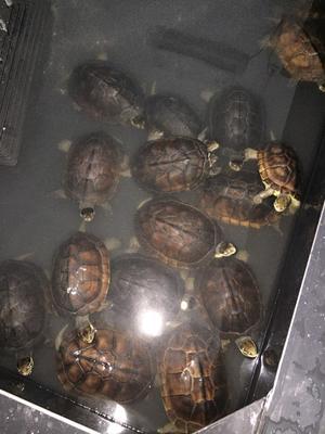广东茂名南石龟 10-20cm 1-1.5斤