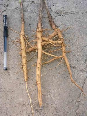 山西运城油用牡丹种苗 0.5米以下 2cm以下 4cm以下