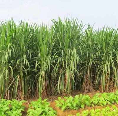 这是一张关于皇竹草 高产型牧草种子  产量高的产品图片