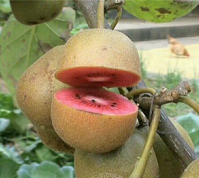 山东泰安岱岳区红心猕猴桃苗 嫁接苗 红心猕猴桃,免费提供种植技术指导