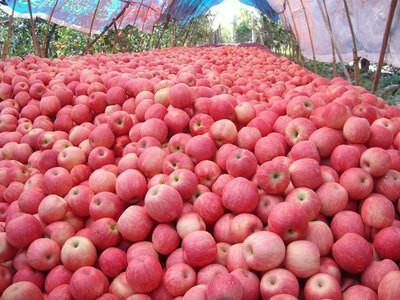 这是一张关于沂源红苹果 膜袋 全红 75mm以上的产品图片