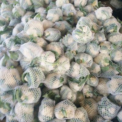 山东聊城白花菜花 适中 1~2斤 乳白
