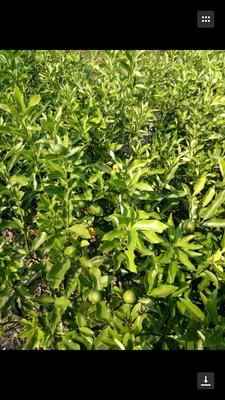 广西柳州脆皮金桔 2-3cm 1两以下