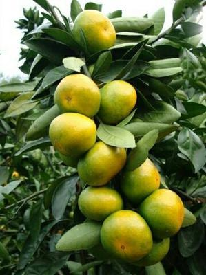 这是一张关于温州蜜桔 6.5 - 7cm 2 - 3两的产品图片