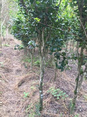 福建龙岩茶花树 140cm以上