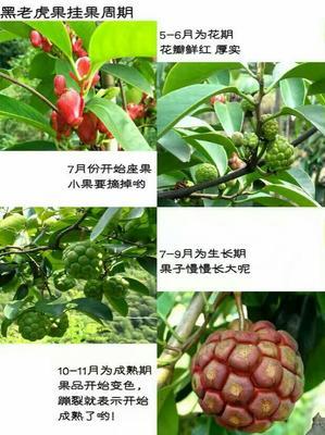 湖南省怀化市通道侗族自治县粉红 300-600g