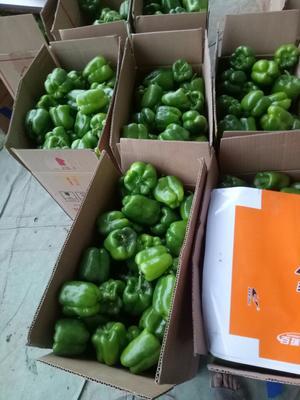 这是一张关于圆椒 5~10cm 中辣的产品图片