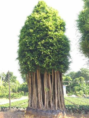 福建漳州漳浦县小叶榕 大型福建造型景观小叶榕桩头绿化树大量出售