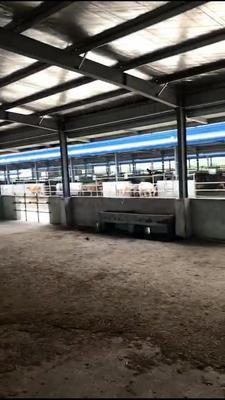 这是一张关于夏洛莱牛 200-300斤 公牛的产品图片