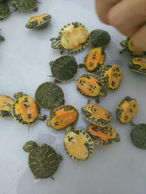 这是一张关于火焰龟 5-10cm 0.5斤以下的产品图片