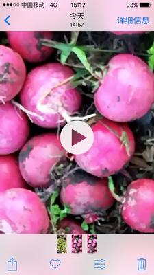吉林省四平市梨树县大红袍萝卜 2~2.5斤