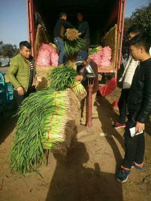 河南许昌红根蒜苗 50 - 60cm