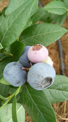 四川成都速冻蓝莓 2017年采摘冷冻蓝莓果