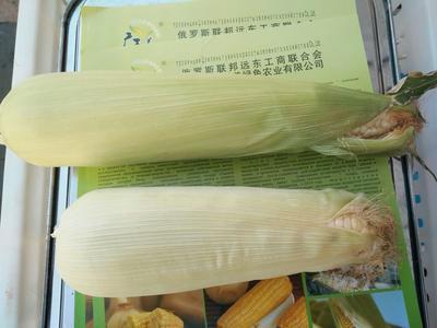 吉林四平速冻玉米 速冻粘玉米