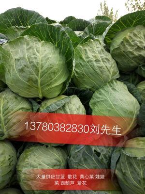 河北省秦皇岛市昌黎县昌黎甘蓝 0.5~1.0斤