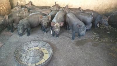 广西北海黑土猪 60斤以上