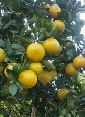 这是一张关于皇帝柑 4.5 - 5cm 2 - 3两 皇帝柑贡柑  专供应一件代发 批发的产品图片