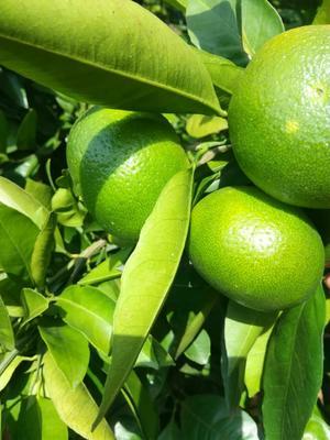 这是一张关于蜜桔 5.5 - 6cm 4两以上的产品图片