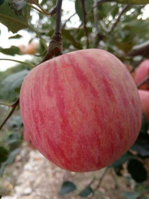 这是一张关于红富士苹果 80mm以上 纸袋 条红 山东优质红富士苹果产地的产品图片