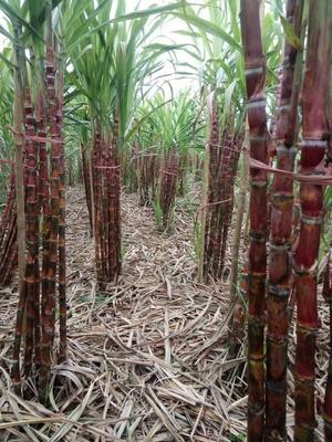 云南红河红甘蔗 4 - 5cm 2.5 - 3m