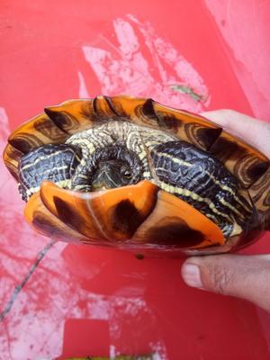 安徽蚌埠大头乌龟 20-30cm 2-4斤