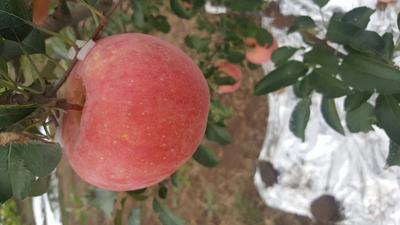 这是一张关于红富士苹果 80mm以上 片红 纸袋 苹果 红富士苹果的产品图片