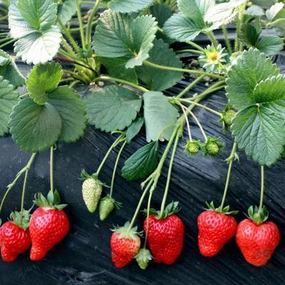 江苏宿迁四季草莓苗 20~30公分 地栽苗 奶油草莓苗   盆栽草莓苗
