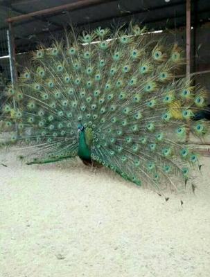 山东济宁蓝孔雀 蓝孔雀价格 孔雀养殖场 孔雀哪里有货