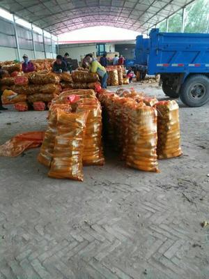 陕西省榆林市定边县黄胡萝卜 15cm以上 5两以上 5cm以上