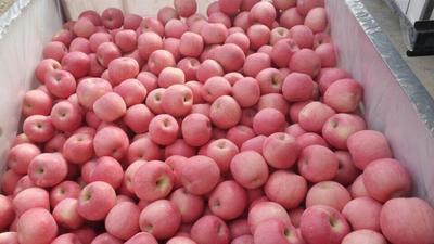 山东临沂冰糖心苹果 75mm以上 纸袋 条红