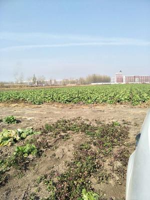 吉林省长春市农安县韩国黄心白菜 3~6斤 毛菜