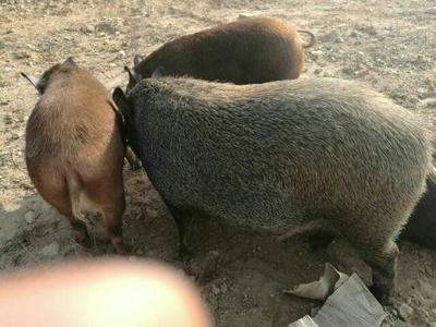 山西忻州商品野猪 200-300斤 统货
