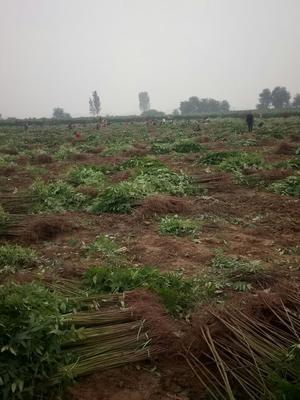 这是一张关于红油香椿苗 0.5公分的产品图片