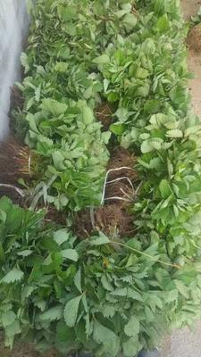 山东泰安奶油草莓苗 地栽苗 20~30公分