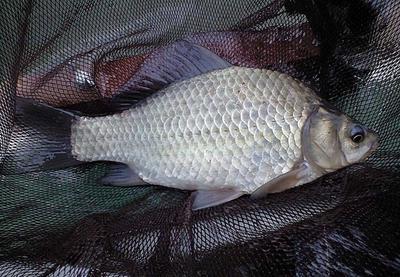 这是一张关于白鲫 人工养殖 0.25-1公斤 0.5斤-0.8斤白鲫。的产品图片